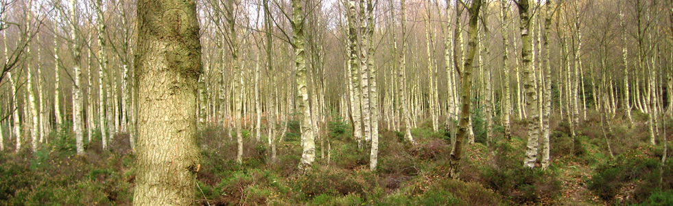 Wykeham Forest birch trees